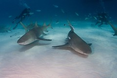 Lemon sharks and divers (WIlly Volk) Tags: shark dive scuba diving scubadiving sharks bahamas lemonshark