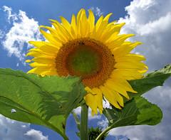 Lpj be a birodalmamba / Enter my Kingdom (ssshiny) Tags: sky cloud flower yellow wow sunflower agriculture g felh virg naturesfinest napraforg srga flowerscolors impressedbeauty flowerpicturesnolimits naturewatcher mezgazdasg