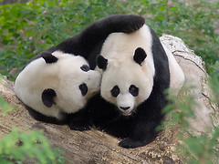 Let me whisper sweet nothings in your ear! (pixelmasseuse) Tags: bear love washingtondc panda bears nationalzoo pandas tiantian meixiang naturesfinest giantpandas ailuropodamelanoleuca empyreananimals theunforgettablepictures fcawinner thechallengefactory