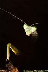 Edward scissorhands' scissors (EduardoMarabuto Photography) Tags: portugal mantis insect mantiidae irisoratoria Águasdemoura