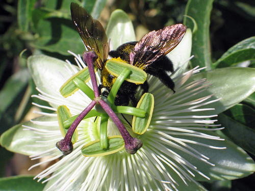 Carpenter Bee on Passion Flower II
