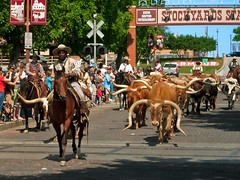 Ft. Worth Longhorn Herd in Parade