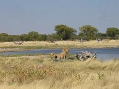 Lions (mpaskevi) Tags: lions namibia etosha lionfamily etoshapark bluelightdistrictorg