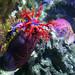Concombre de mer violet