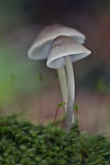 Mycena sp. (JM Ripoll) Tags: barcelona forest mushrooms spain bosque fungus funghi pilze wald svamp mycology pilz champignons setas fong bosc foresta cogumelos fungo bolets micologia mikologia onddo perretxikoak micología mycologie olzinelles pilzkunde foraoise