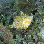 IMG_5477are Planehead Filefish (Stephanolepis hispidus) thumbnail