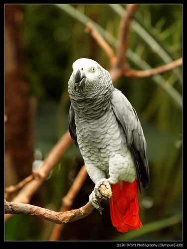 Rosie, the African Grey Parrot (Psittacus erithacus)