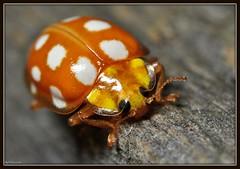 ~Orange Ladybird~(On Explore) (Eddie The Bugman) Tags: nottingham interesting beetle explore ladybird ladybug holme coleoptera orangeladybird pierrepont kenkoextensiontubes macrocloseup halyzia16guttata nikkor60mmmicro nikond90 nikonsb400 nikonsc29