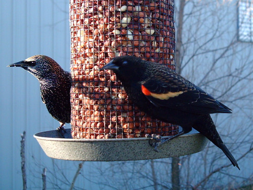 European Starling & Red-winged Blackbird