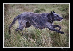 Deer hound in action (miacat63) Tags: dogs beautiful portraits action favorites pack hounds deerhounds