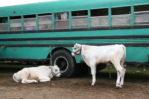 Bus & 2 Cows.JPG
