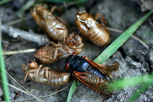 Last cicada left standing