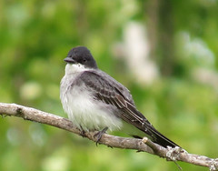 Eastern Kingbird (1) (A. Y. Jackson) Tags: pictures ontario canada bird birds canon river photo photos wildlife picture grand grandriver s3 brantford southwestern kingbird easternkingbird