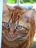dreamer (SarahDomingos) Tags: pet cats pets animal animals cat chats chat katze gizmo dreamer katzen cc100 bestofcats boc0807 cwccaugust