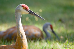 Kensington's Young Sandhill Cranes