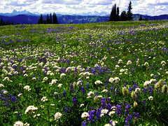 The Meadows (Bhlubarber) Tags: mountain flower britishcolumbia meadow f10 hike backpack wildflowers apline manningpark heathertrail davidniddrie