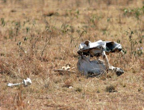 Hippo skull (died of natural causes)