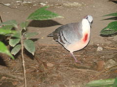 Philippine bleeding-heart pigeon (julesnene) Tags: bird heart pigeon philippines bleedingheart endemic negros negrosoriental negrosisland philippinebleedingheart bleedingheartbird julesnene negrosbleedingheartpigeon gallicolumbakeayi centrop photobyjuliasumangil