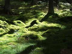 green forest .. (bengt korling) Tags: brillianteyejewel