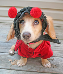 Honey Bug #2 (Doxieone) Tags: red dog cute english fall halloween puppy costume interestingness long cream dachshund explore honey final blonde exploreinterestingness hi pup haired pup1 coll 1002 longhaired blueribbonwinner honeydog topfavorite supershot explored englishcream 9912913 17016918 27628929 honeyset fallhalloween200672008set