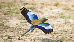 Lilacbreasted Roller (ghutcho) Tags: africa bird botswana lilacbreastedroller
