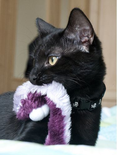 cute black cat and toy