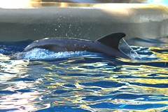 Dolphin Nursery- Bossa's calf or Calla's calf (Seals4Reals) Tags: world show park blue sea baby aquarium orlando marine florida dolphin united malia believe killer whale orca states seaworld calf kayla katina horizons bottlenose nalani trua lesquish