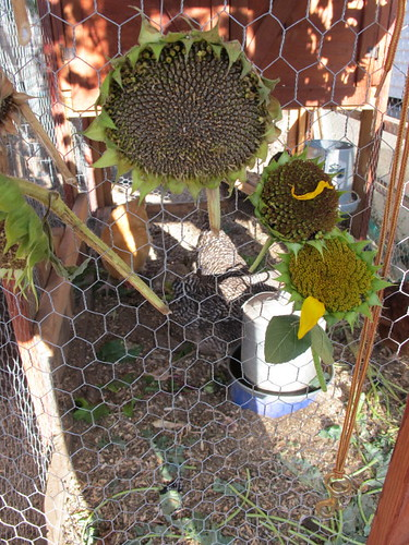 Sunflowers on the chicken coop