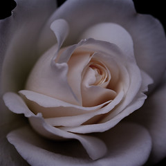 If a June night could talk ..... (cattycamehome) Tags: flowers light roses summer white flower macro floral june rose tag3 taggedout night petals bravo soft tag2 all tag1 darkness blossom quote  cream romance rights romantic blossoming delicate reserved elegance excellence damask catherineingram magicdonkey flowerotica june2007 artlibre bernwilliams cattycamehome allrightsreserved cfjune