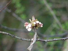 (dvaena) Tags: cherry spring blossom dsch2