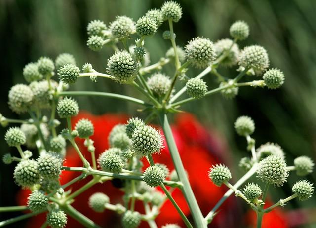 エリンギウム パンダニフォリウム/Eryngium pandanifolium