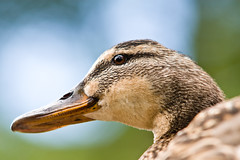 Mama duck close up - by .m for matthijs