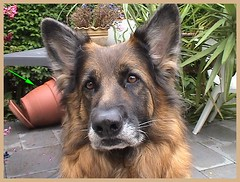 Innocent, I'm not guilty ... (skippi1234) Tags: dog chien belgium belgique germansheperd bergerallemand impressedbeauty