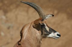 Roan Antelope (Hippotragus equinus) (Aamir Yunus) Tags: wild animal animals zoo sandiego naturesfinest blueribbonwinner supershot platinumphoto aplusphoto superbmasterpiece diamondclassphotographer flickrdiamond ysplix proudshopper