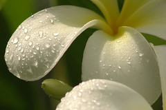 blooming white by drops