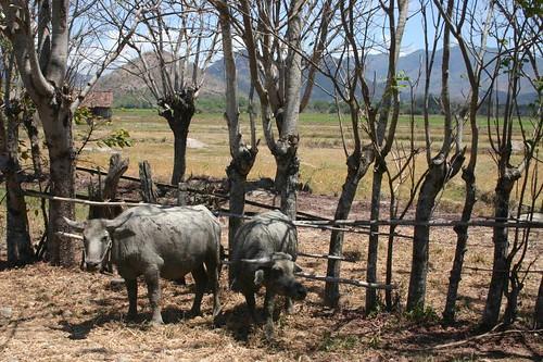 Water buffaloes, Sumbawa Island. Nusa Tenggara, Indonesia.