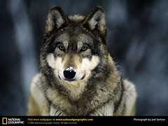 Wolf Killers...Here We Go Again (Ginkgo7) Tags: nature animals wolf wildlife animalrescue graywolf wolves nationalgeographic endangeredspecies greywolf nrdc wildliferescue joelsartore bloggedit excapture idahogovernorwantswolfblood idahogovernornamedbutch shortforbutcher
