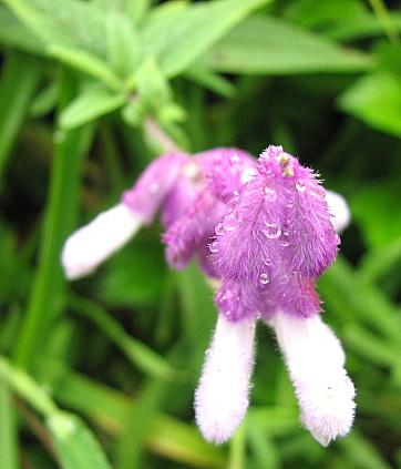 un id wild flower nandi hills