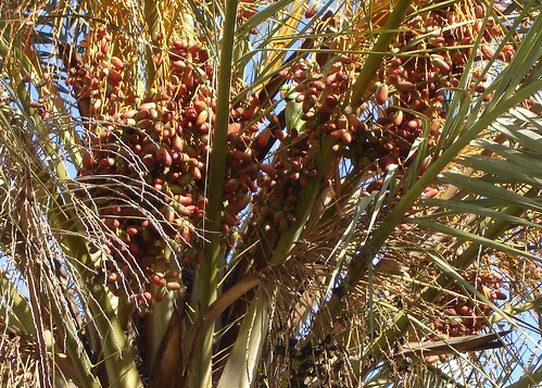 A parakeet in a date palm
