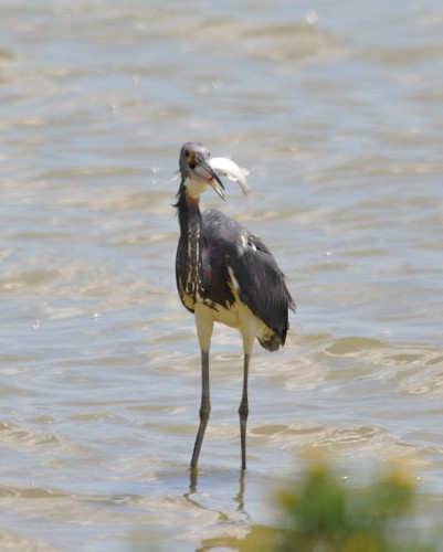 Tricolored Heron 2