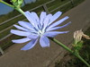 Ice Blue Flower