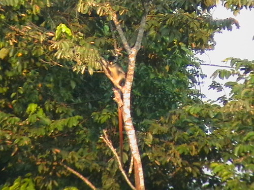 Monkey, red tailed monkey.  In Lomami -Lualaba forest 150km south of Opala near a small village