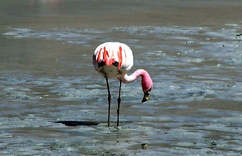 Puna Flamingo. Phoenicoparrus jamesi.