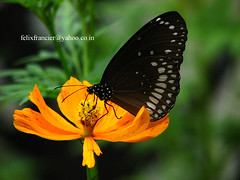 Euploea core (Nymphalinae) (Felix Francis) Tags: india nature butterfly wildlife kerala crow common tribals nilambur