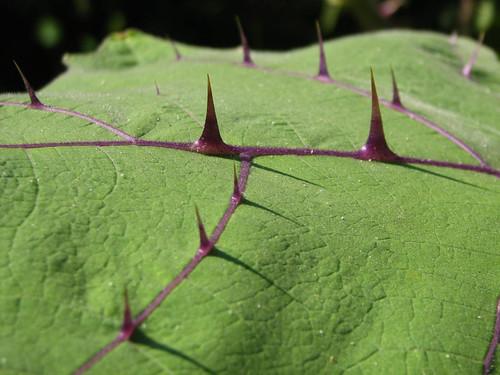 Solanum 3