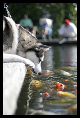 Afternoon at the Arboretum  _MG_7371.jpg (kingpinphoto) Tags: dog washingtondc pond husky bokeh koi dcist laborday 2007 nationalarboretum joeldidriksen wwwkingpinphotocom interspeciescommunication