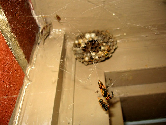 Wasps Vs Spiders - Spiders Win 1