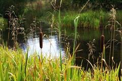 Rushes (annicariad) Tags: autumn wales westwales cymru wfc llandeilo annicariad welshflickrcymru dyneforpark