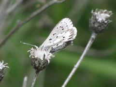 Arrowhead Blue (Striking) Tags: butterfly montana polyommatini