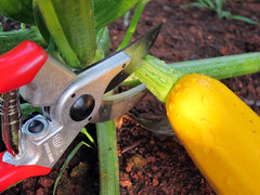 cutting squash from the vine